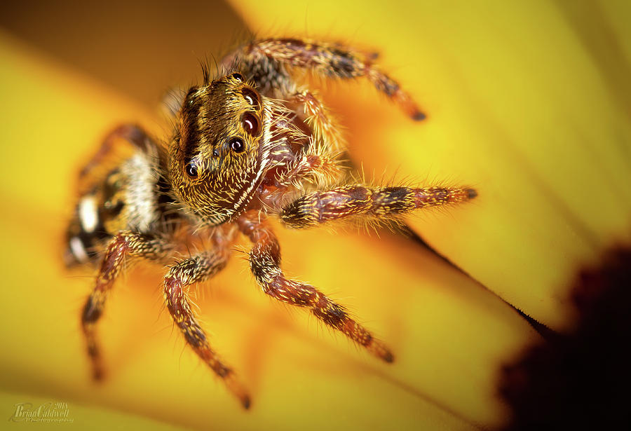 Jumping Spider Photograph by Brian Caldwell