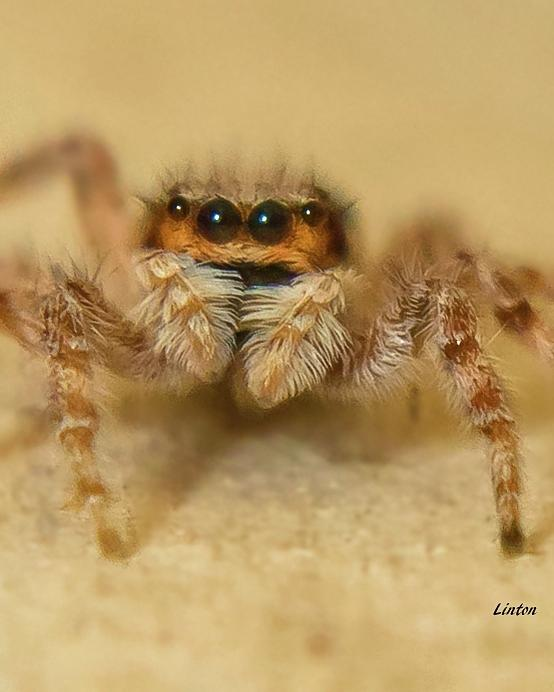 JUMPING SPIDER by Larry Linton