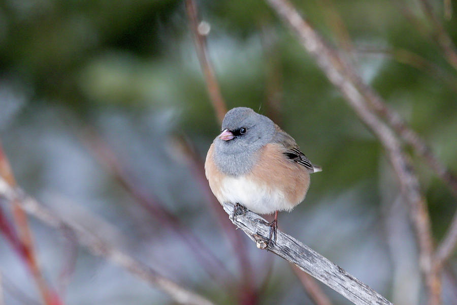 Junco by Ronnie and Frances Howard