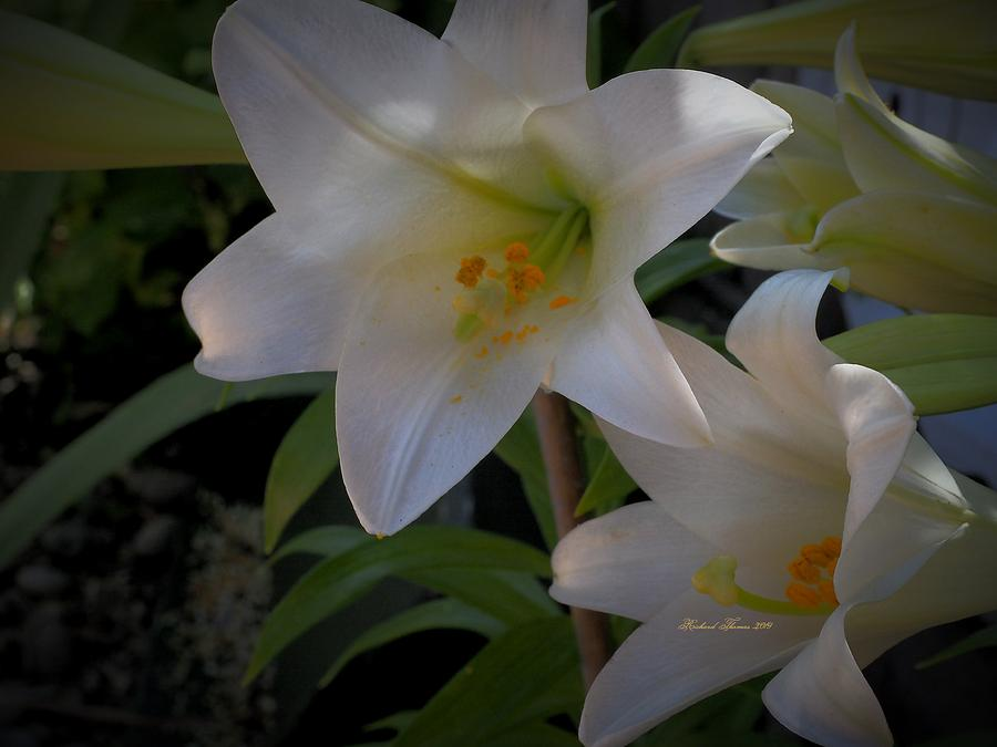 June Easter Lilies by Richard Thomas