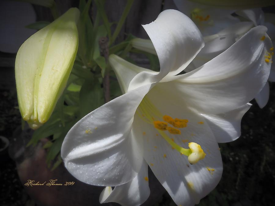 June Easter Lily Bloom by Richard Thomas