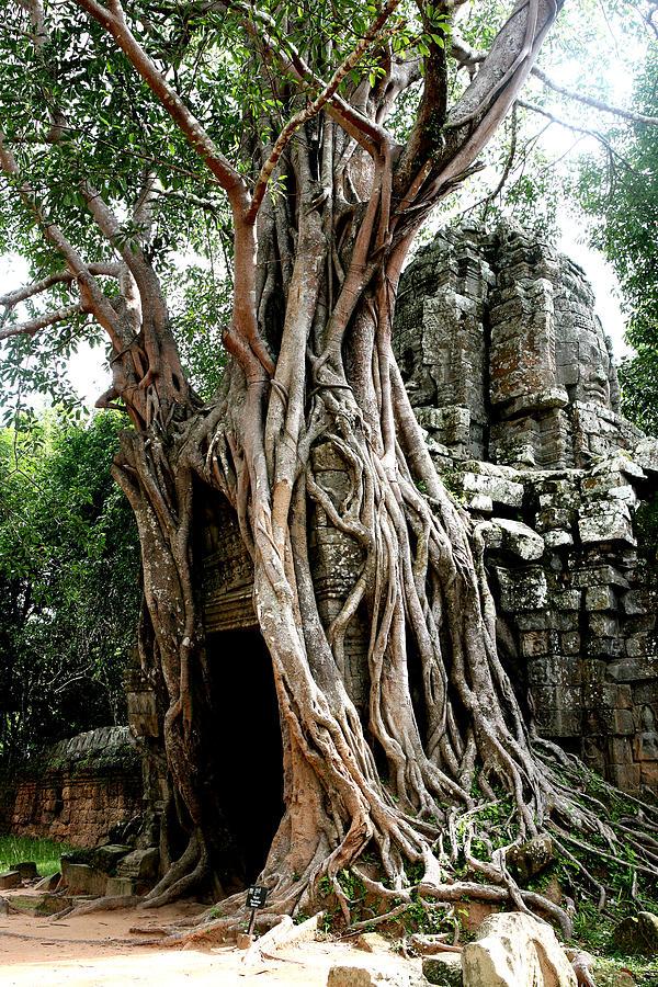 Jungle Trees In Angkor Wat Photograph by Fotostudio De Oude School