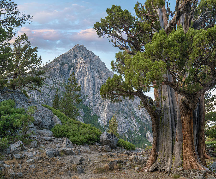 Juniper And Jeffrey Pines, Phipps Peak by Tim Fitzharris