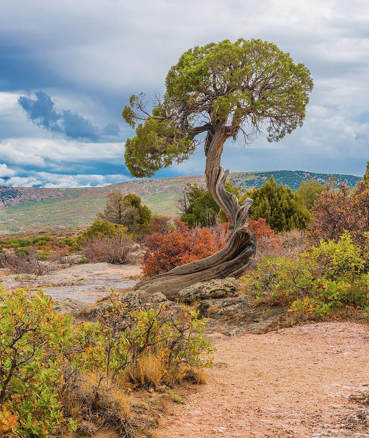 Juniper Tree Photograph - Juniper At Dragon Point by Tom Potter