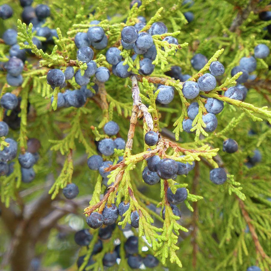 North Dakota Photograph - Juniper Berries by Cris Fulton