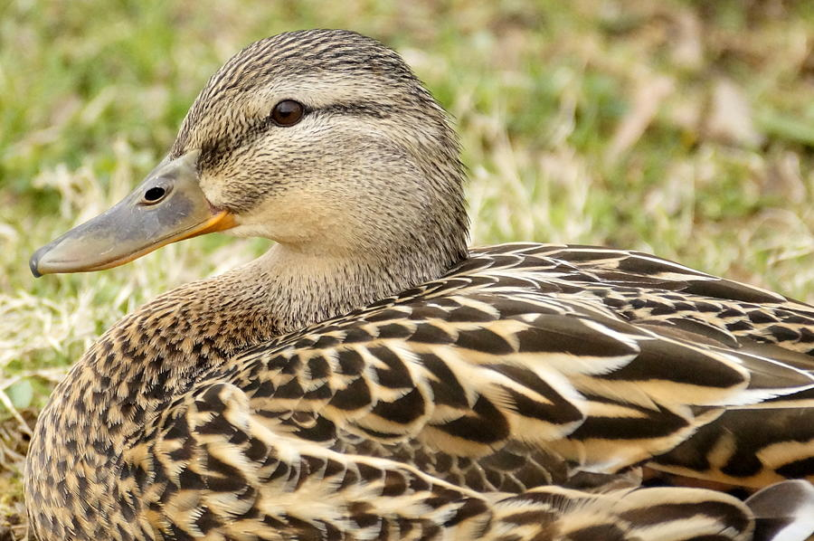 Just Ducky by BETH COLLINS