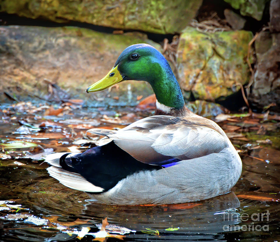 Just Ducky - Male Mallard Duck by Kerri Farley