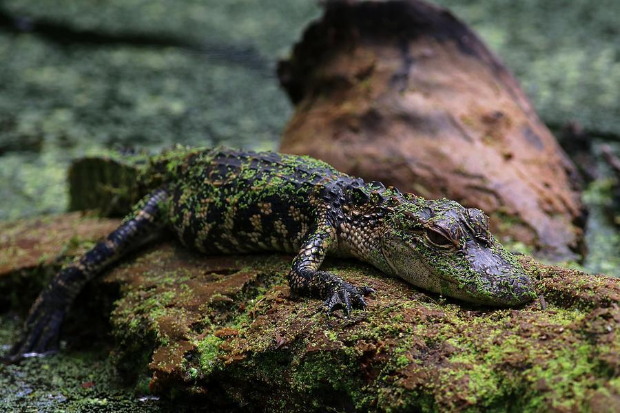 Juvenile Alligator  by Carol Montoya