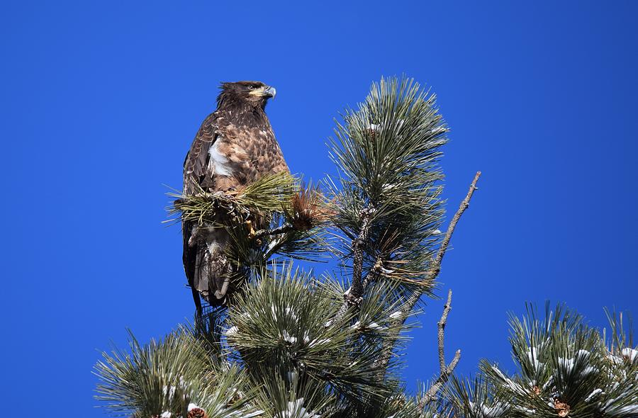 Bald Eagle Photograph - Juvenile Bald Eagle by Dana Hardy