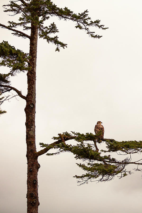 Juvenile Bald Eagle Perching In Tree Photograph by Steven Errico