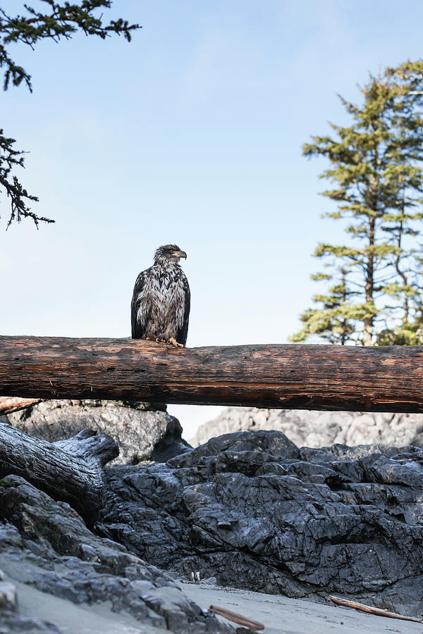 Juvenile Bald Eagle Perching On Beached Photograph by Steven Errico