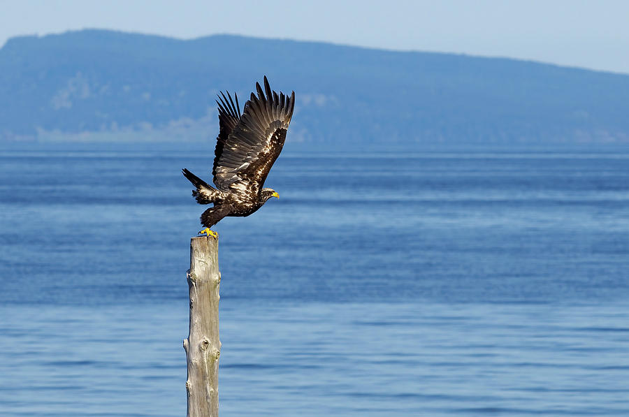 Juvenile Bald Eagle Taking Flight by Sharon Talson