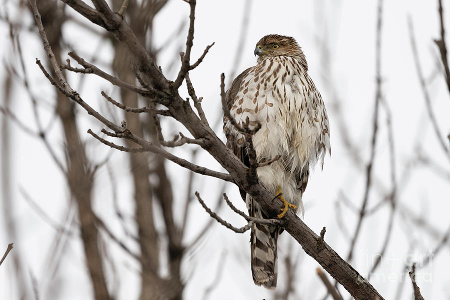Juvenile coopers hawk by Sam Rino