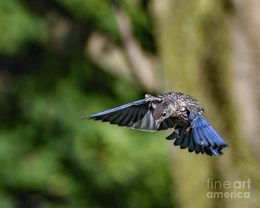 Juvenile Eastern Bluebird Dropping By Photograph