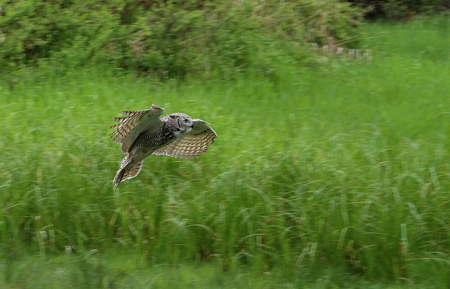 Juvenile Great Horned Owl in Flight by Marilyn Wilson