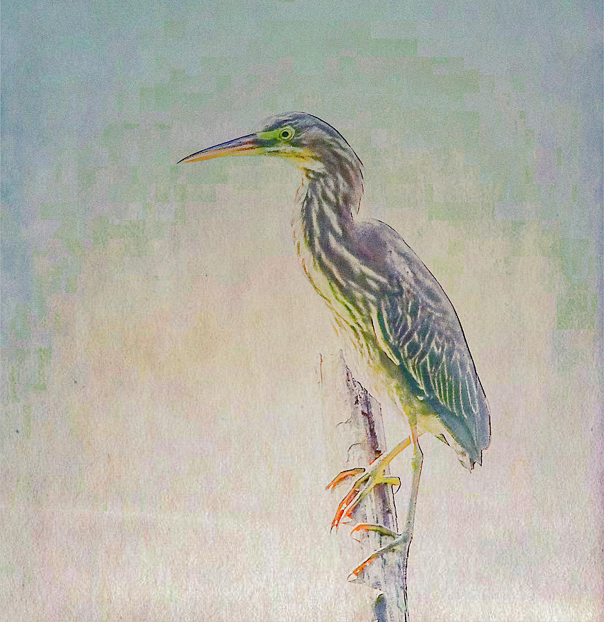 Juvenile Green Heron Portrait by Marcy Wielfaert