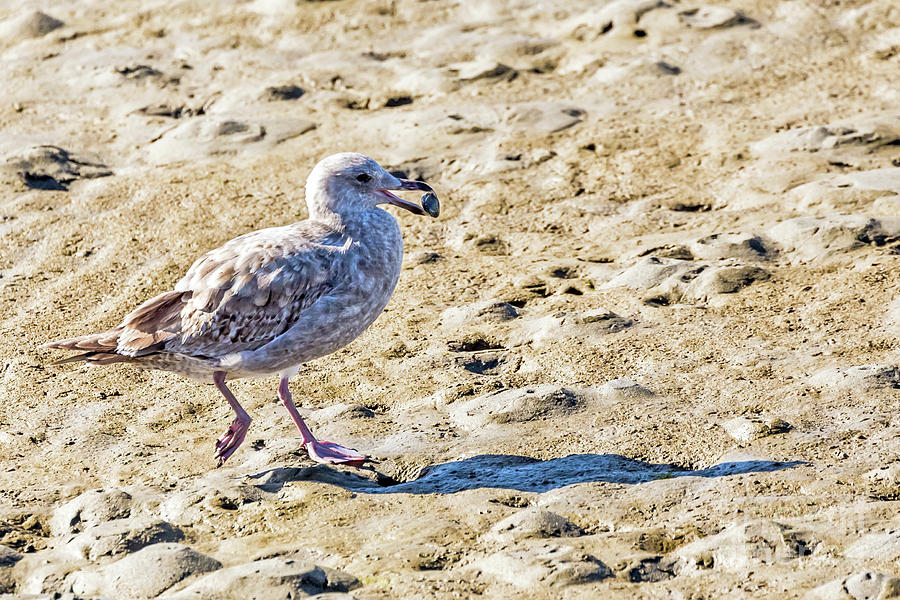 Juvenile Herring Gull by Kate Brown