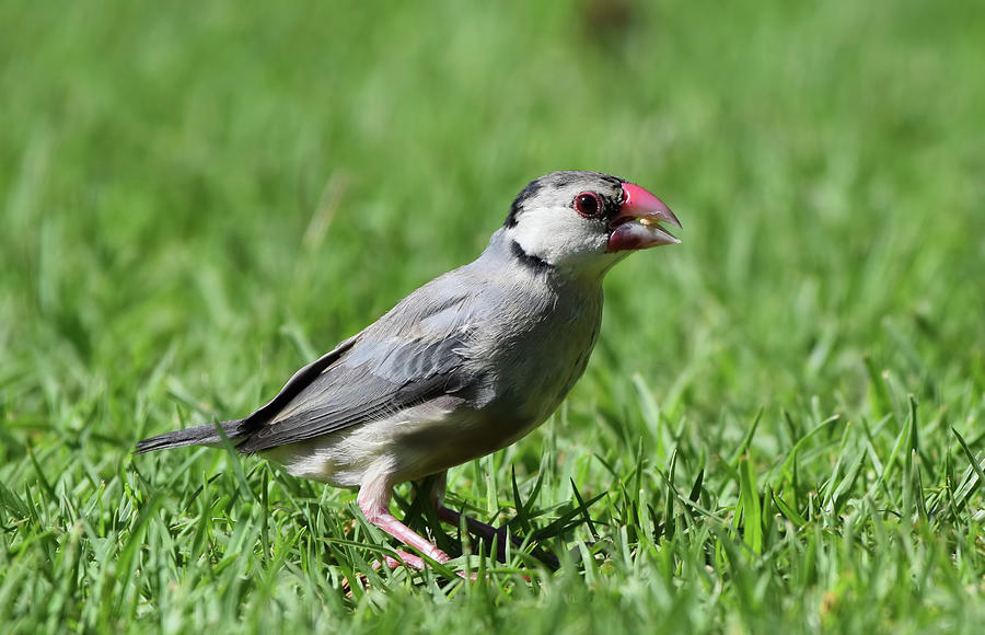Juvenile Java Sparrow by Pamela Walton