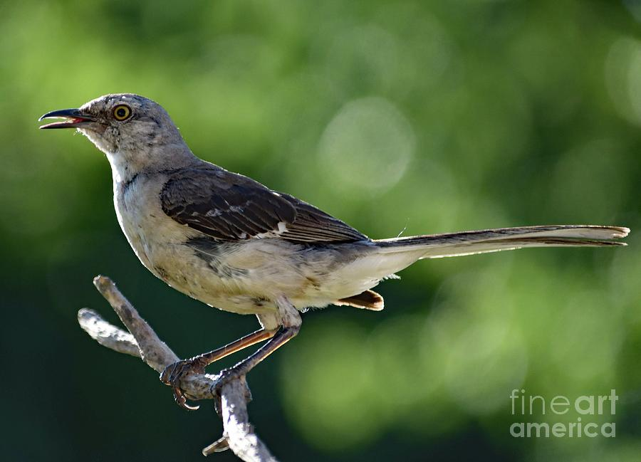 Northern Mockingbird Photograph - Juvenile Northern Mockingbird Posing by Cindy Treger