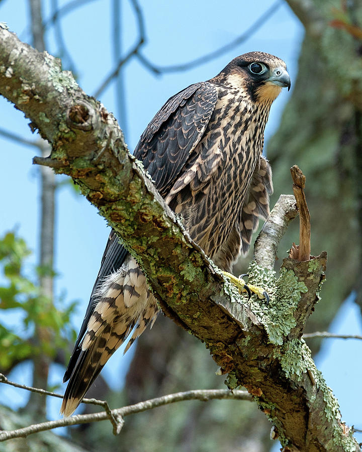 Juvenile Peregrine Falcon 1 by Lara Ellis