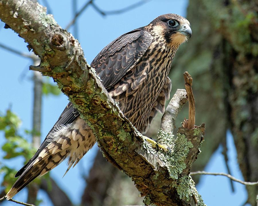 Juvenile Peregrine Falcon 2 by Lara Ellis