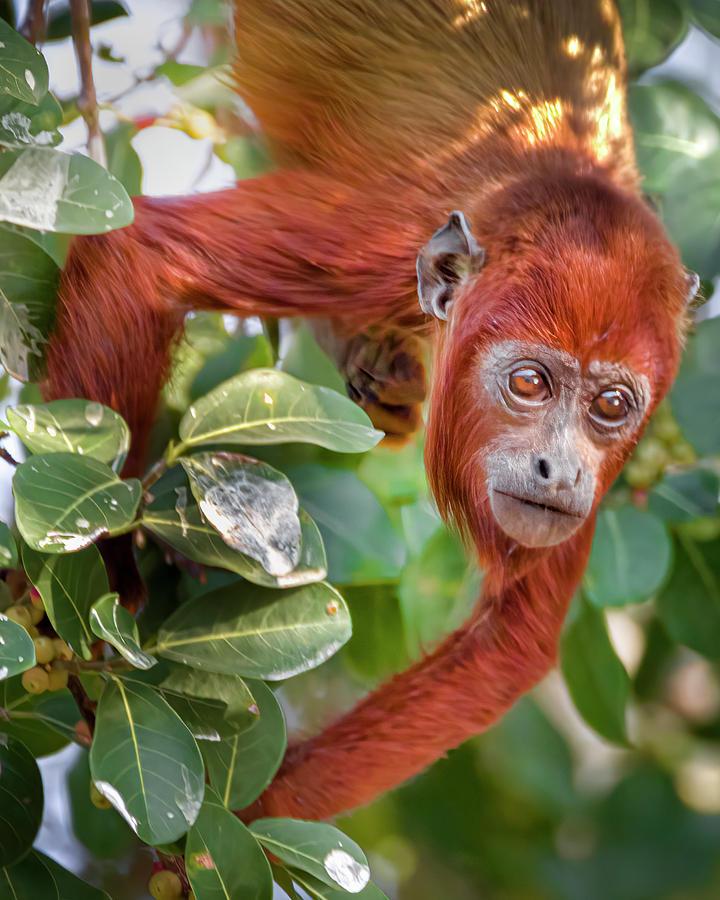 Juvenile Red Howler Monkey Hato Berlin Casanare Colombia by Adam Rainoff