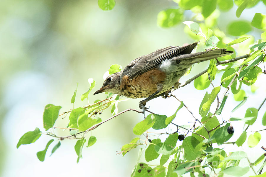 Juvenile Robin by Michael D Miller