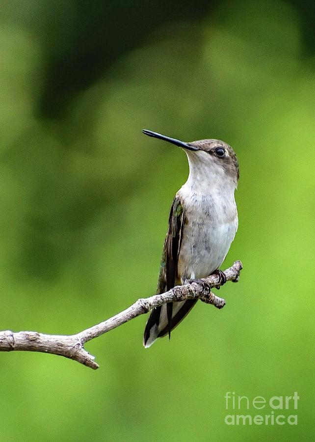 Juvenile Ruby-throated Hummingbird Looking Pensive Photograph