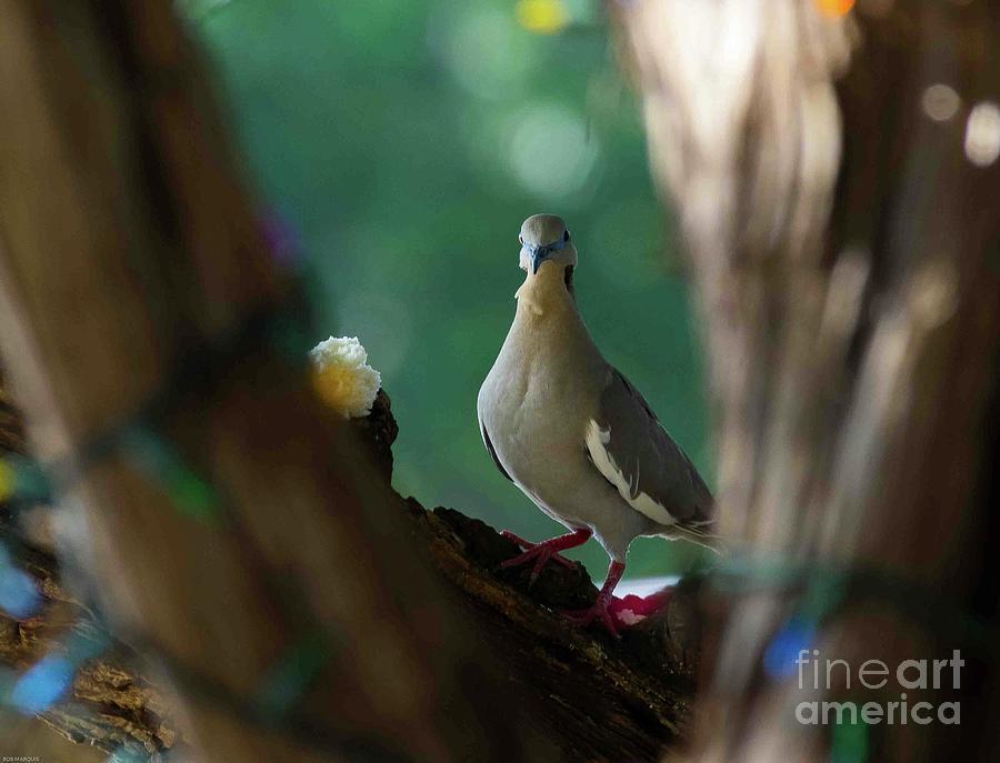 Juvenile White Winged Dove Photograph