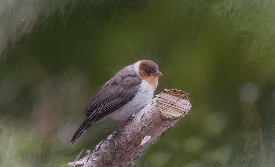 Juvenile Yellowbilled Cardinal by Pamela Walton