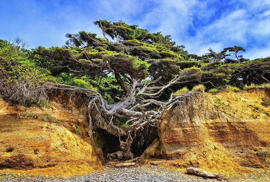 Kalaloch Tree of Life by Carolyn Derstine