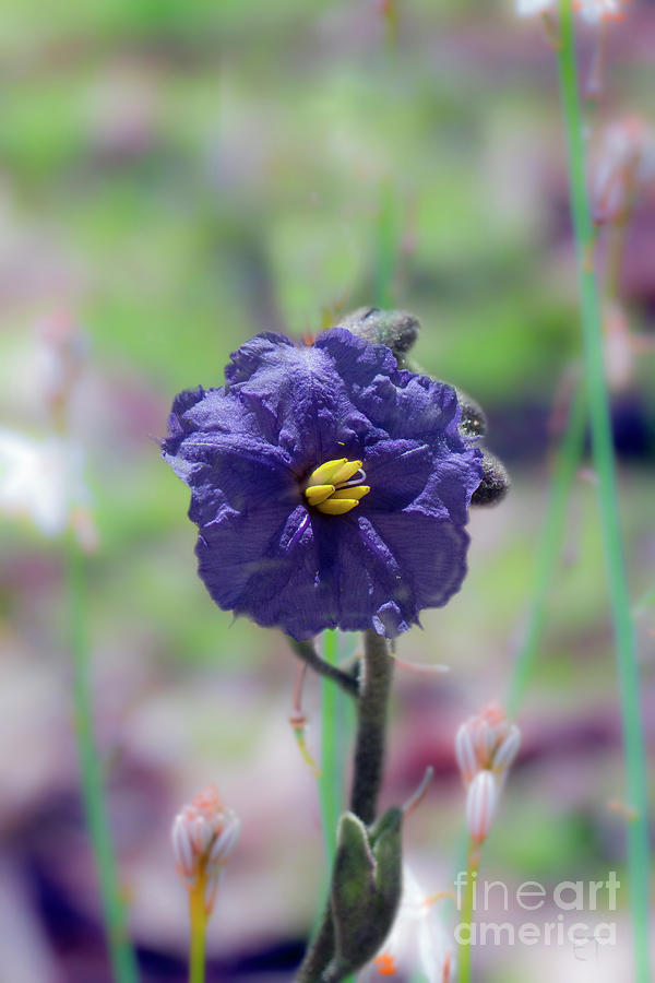 Kangaroo Apple, Solanum Aviculare by Elaine Teague