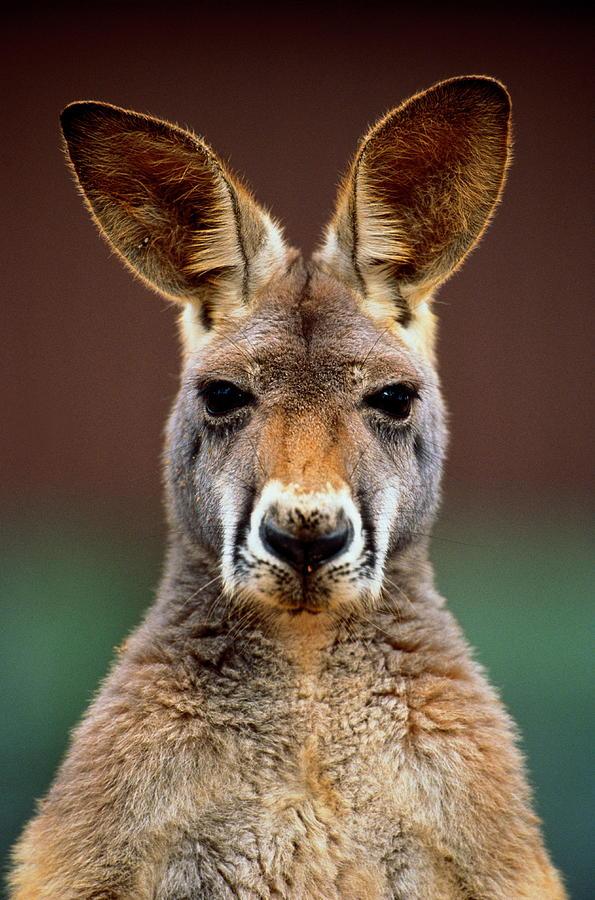 Kangaroo Macropus Sp., Head-shot Photograph by Art Wolfe