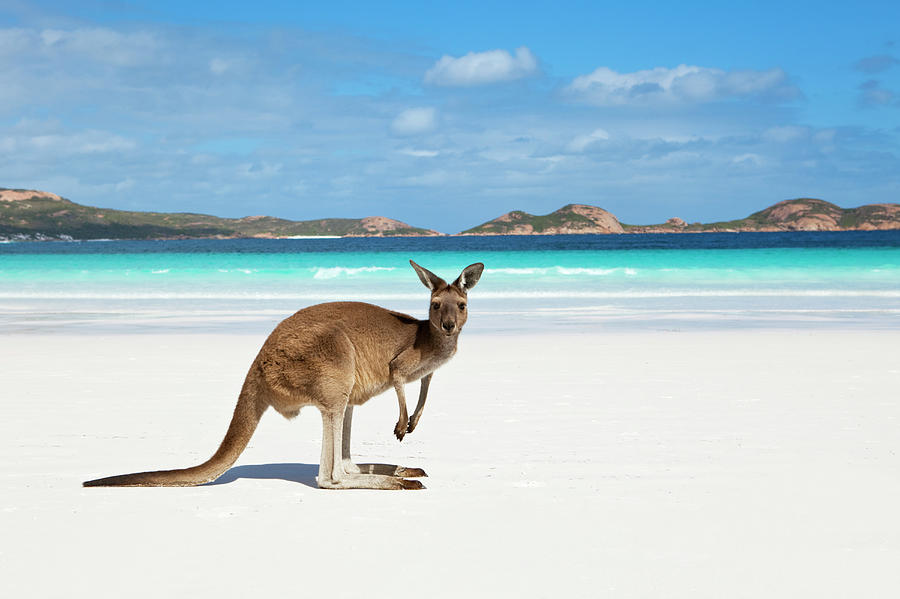 Scenic Photograph - Kangaroo On Beach by Andrew Watson