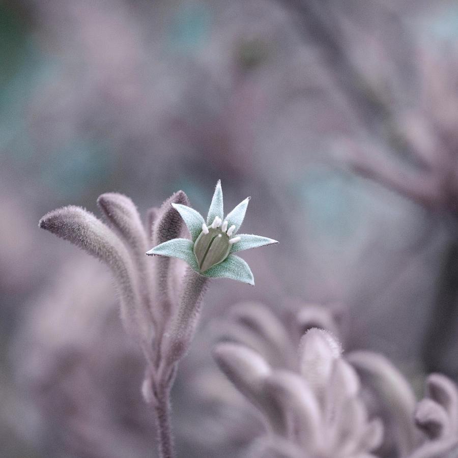 Kangaroo Paw Plant Photograph by Kenny Hung Photography