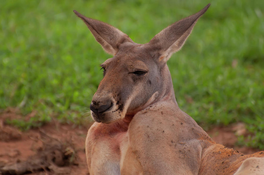Kangaroo Portrait front by Chris Flees