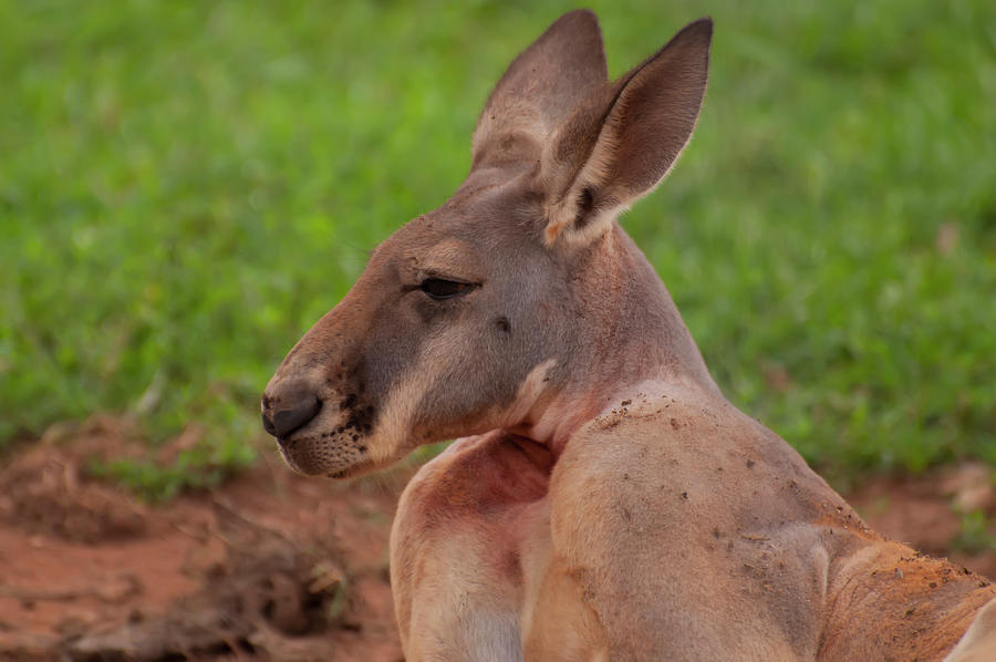Kangaroo portrait profile by Chris Flees