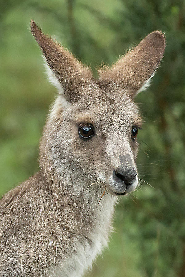 Kangaroo Photograph - Kangaroo Up Close by Barry Kearney