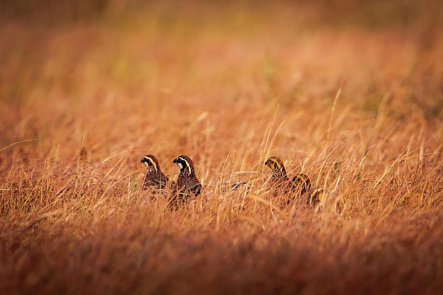 Kansas Bobwhites by Jeff Phillippi