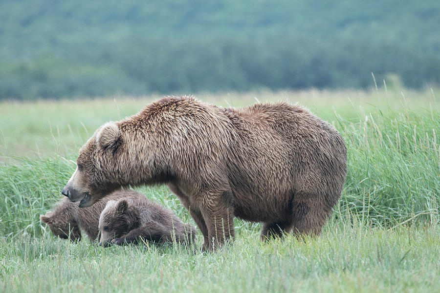 Katmai Mother and Cubs by Mark Hunter