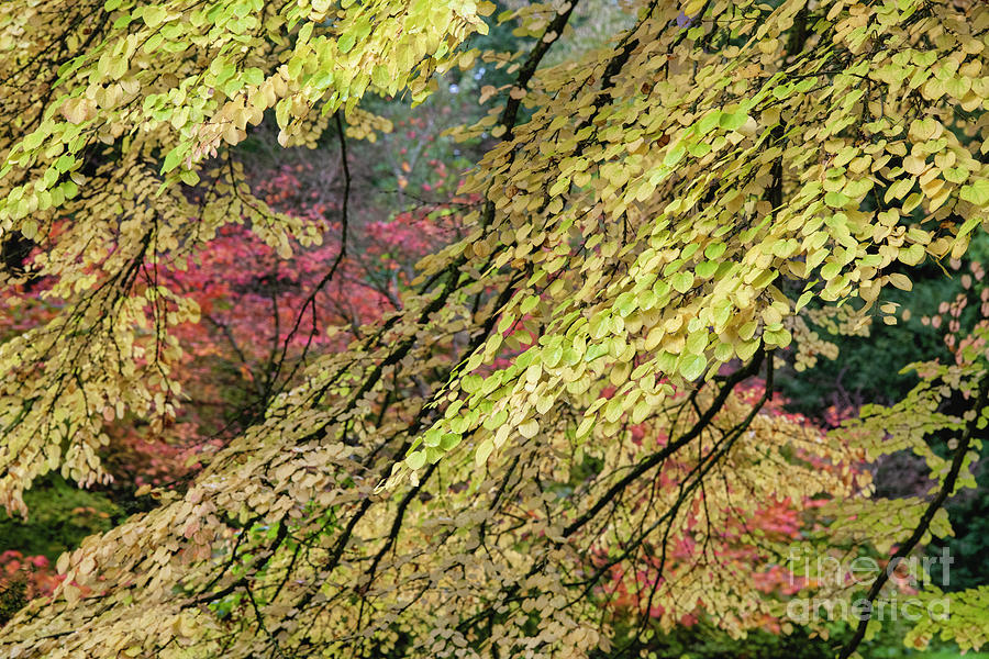 Katsura Tree Foliage in Autumn by Tim Gainey