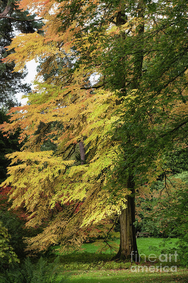 Katsura Tree in Autumn by Tim Gainey