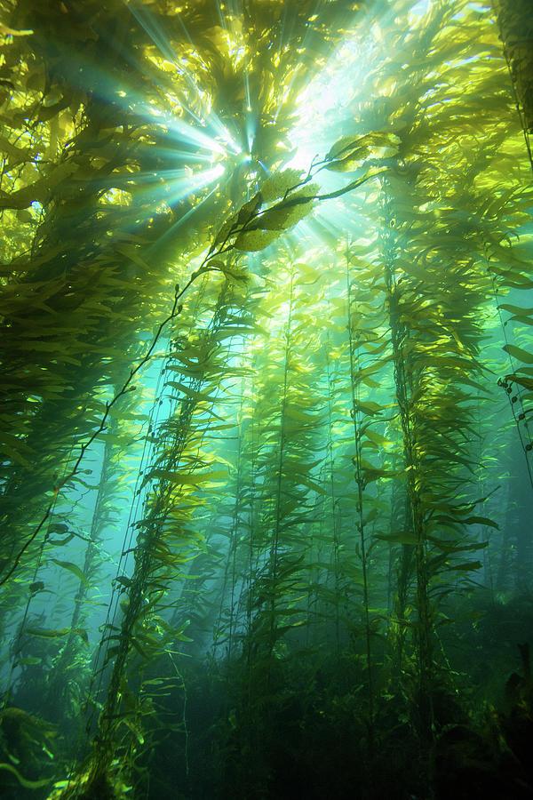 Kelp Sunburst Photograph by Douglas Klug