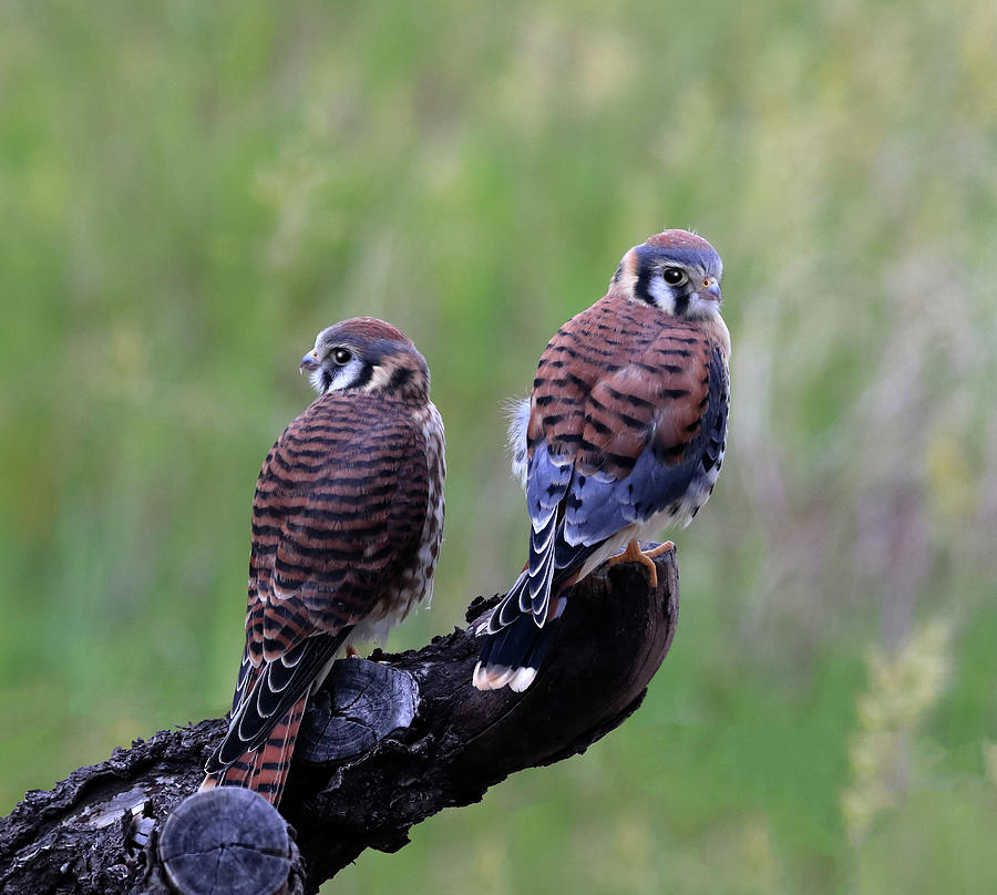 Kestrel Pair by Shane Bechler