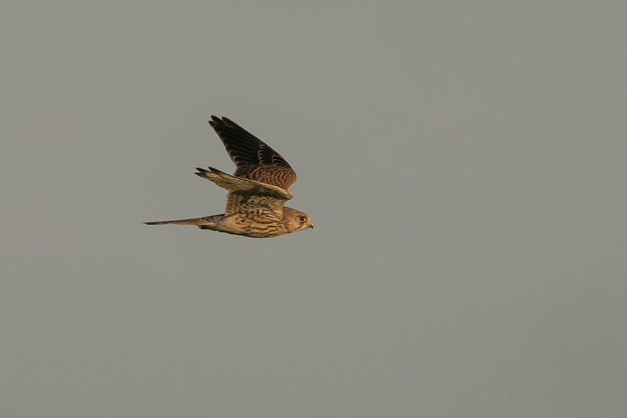 Kestrel Sundown Flyby by Wendy Cooper