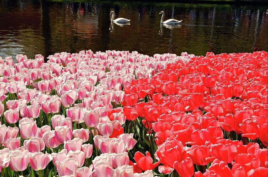 Keukenhof Tulip Garden Photograph by Paul Biris