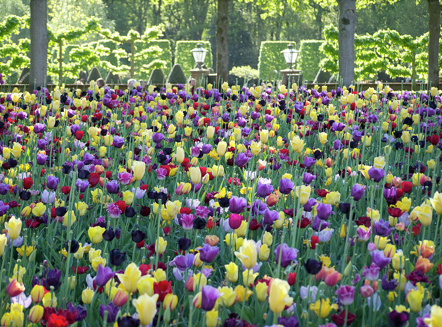 Keukhenhof tulip garden by Jerry Daniel