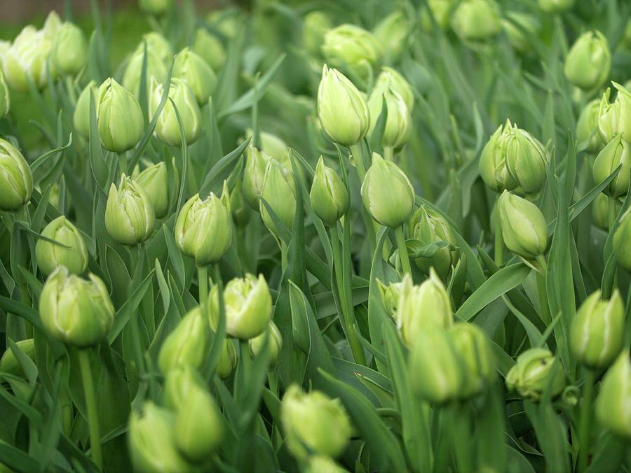 Keukhenhof tulips by Jerry Daniel