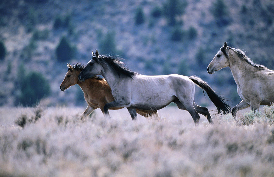 Kiger Mustang Wild Horses, United Photograph by Mark Newman