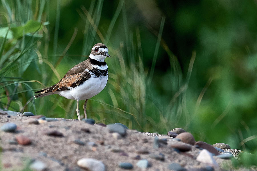Killdeer Photograph - Killdeer In The Brush by Paul Freidlund